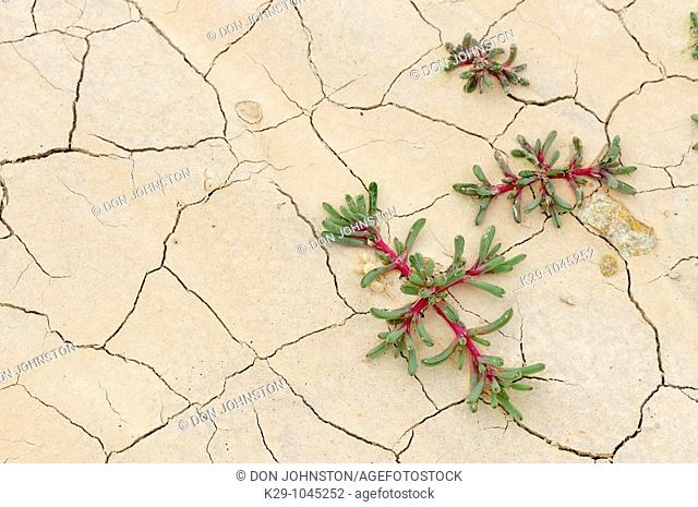 Weed seedlings Russian thistle tumbleweed in cracked mud