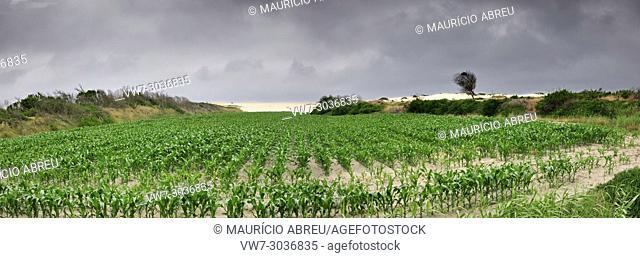 Corn fields. Vagueira, Portugal