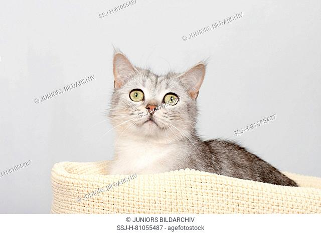 British Shorthair. Kitten in a pet bed. Studio picture against a gray background. germany