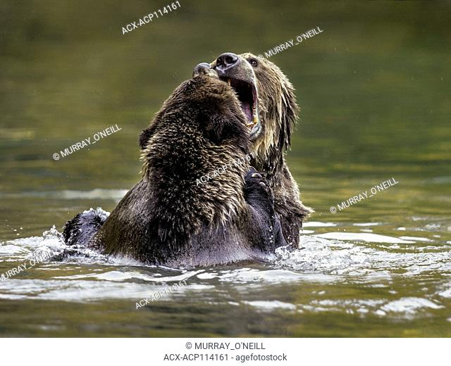 Two Grizzly Bear cubs (Ursus arctos horribilis), sparing while swimming in a salmon stream, Central British Columbia, Canada
