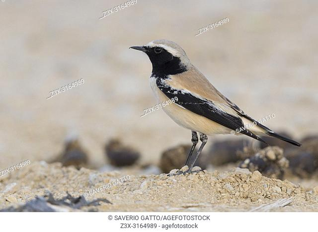 Desert Wheatear (Oenanthe deserti), Standing on the ground, Qurayyat, Muscat Governorate, Oman