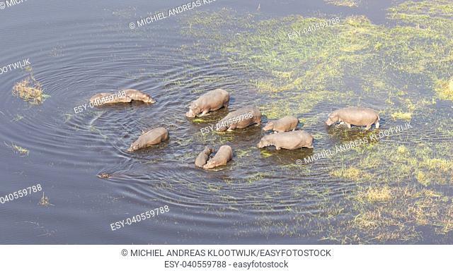 Aerial view of Hippopotamus (Hippopotamus amphibius) in the water, Okavango, Botswana