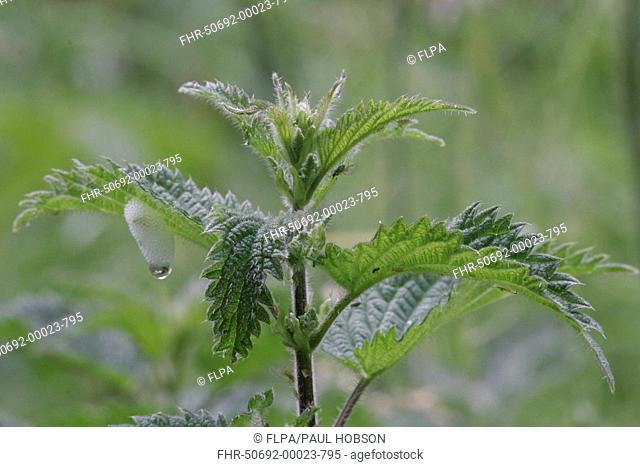 Stinging Nettle Urtica dioica leaves with cuckoo-spit, Peak District, Derbyshire, England