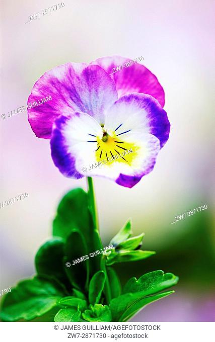 Viola flowers close up variety F1 Deltini Rose Pink