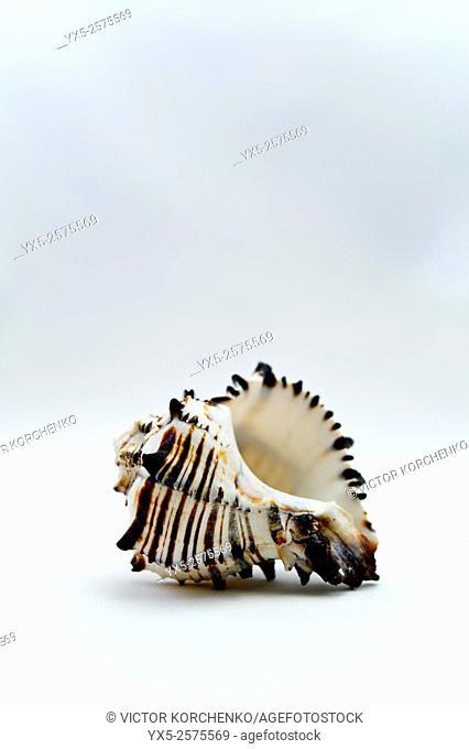Sea shell on plain light background