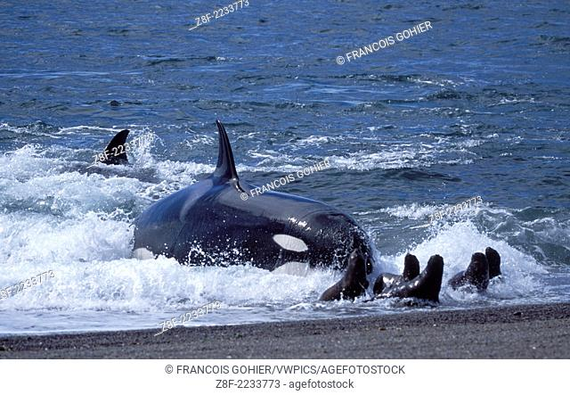 Killer whale ; Orca.Orcinus orca.Hunting South American sea lion pups. Punta Norte, Valdes Peninsula, Patagonia, Argentina