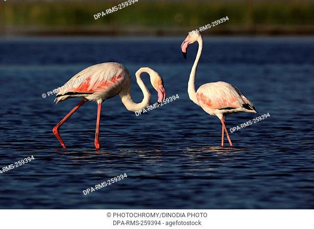 greater flamingo, nalsarovar, Gujarat, India, Asia