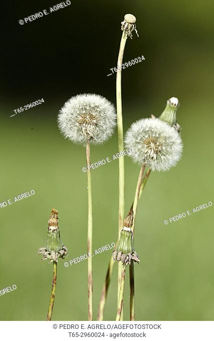 Natural Medicine, Dandelion (Taraxacum officinale) flower in a field of grass, near Portomarin, Lugo Grass with ephemeral white flowers that houses an...