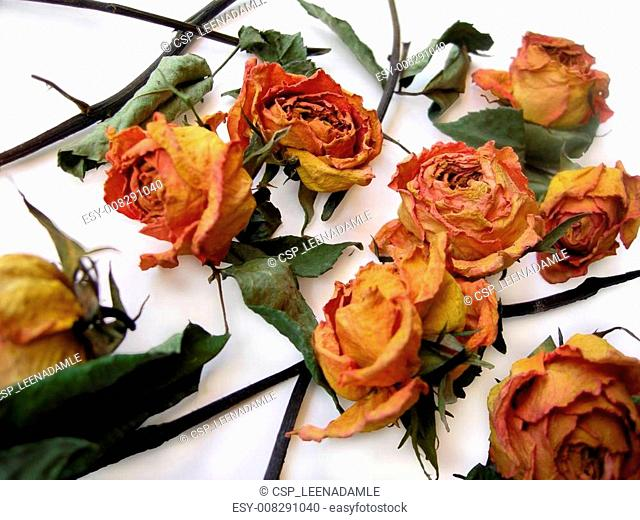 Dry Roses 60 scattered