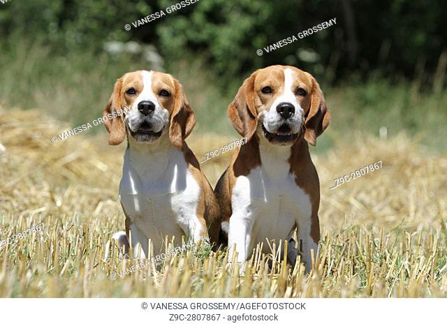 Two Beagle sitting in a field