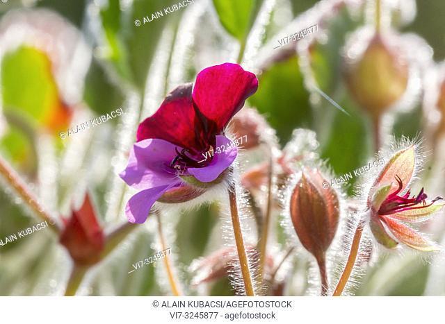 Pelargonium 'Diana Hull'