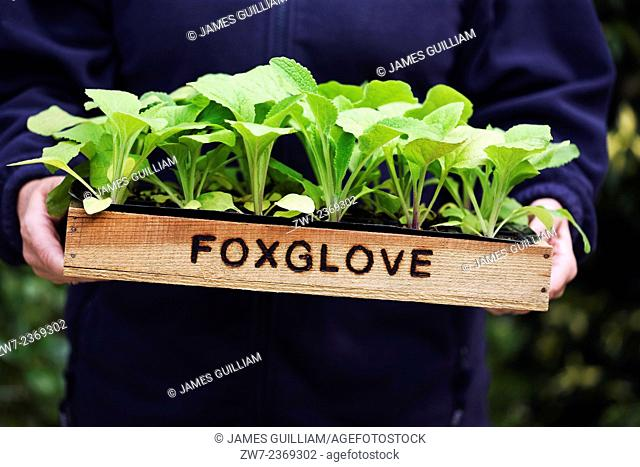 Woman holding wooden tray filled with Digitalis foxglove young plants