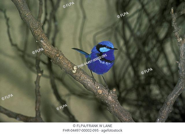 Splendid Fairy Wren Malunus splendens australia Perched on branch / London Zoo