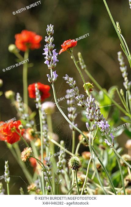 Cottage Garden Flowers, Wales