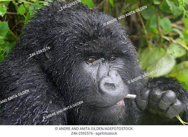 Mountain Gorilla (Gorilla beringei beringei) female from Agasha group portrait, eating bamboo , looking at camera, wet from rain, Volcanoes National Park