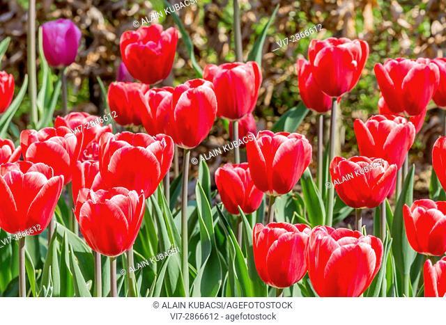 Tulipa Darwin Hybrid 'Big Chief'