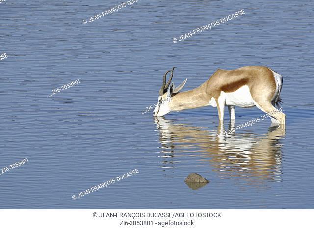 Springbok (Antidorcas marsupialis), adult male standing in water, drinking, Okaukuejo waterhole, Etosha National Park, Namibia, Africa