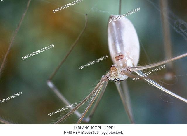 France, Morbihan, Araneae, Pholcidae, Cellar spider or Skull spider (Pholcus phalangioides)