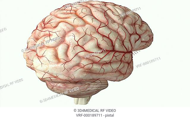 An animation showing the relative position of the thalamus to the brainstem. The camera zooms in and rotates to show a posterior view of the brainstem and...