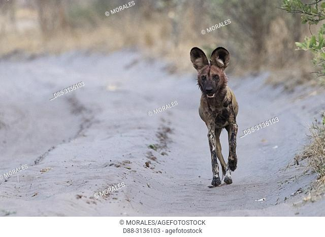 Africa, Southern Africa, Bostwana, Moremi National Park, African wild dog or African hunting dog or African painted dog (Lycaon pictus), adult