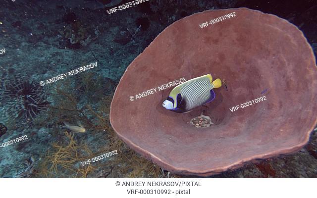 Angelfish hiding in a Giant sponge. Emperor Angelfish - Pomacanthus imperator and Giant barrel sponge - Xestospongia muta, Bali, Oceania, Indonesia