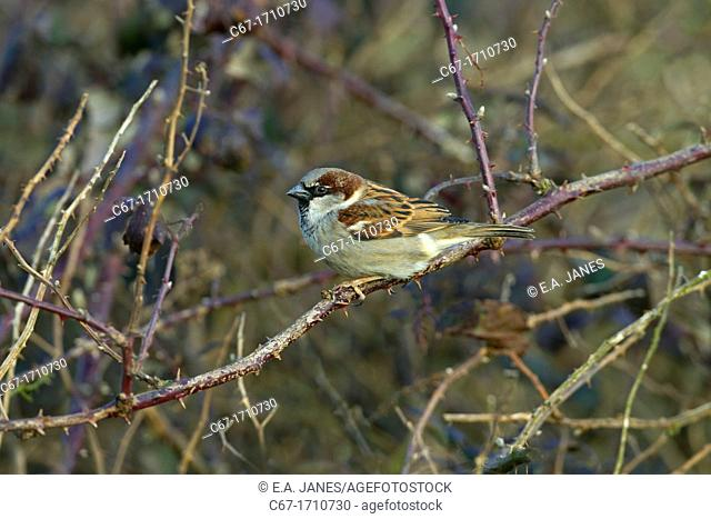 House Sparrow Passer domesticus male in farm hedgerow