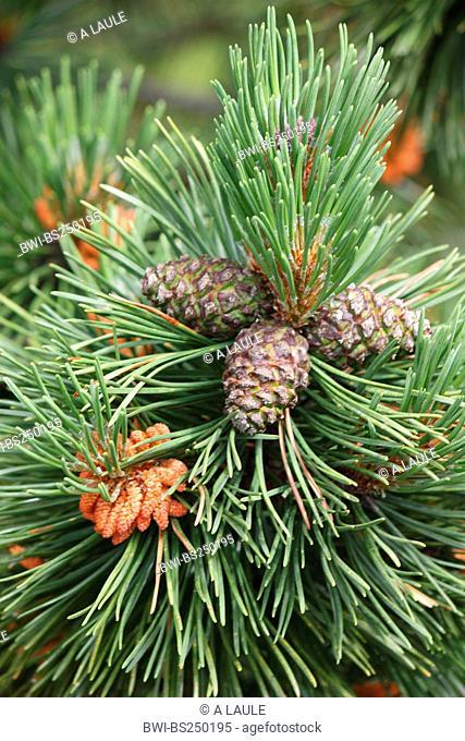 Mountain pine, Mugo pine Pinus mugo, twig with cone