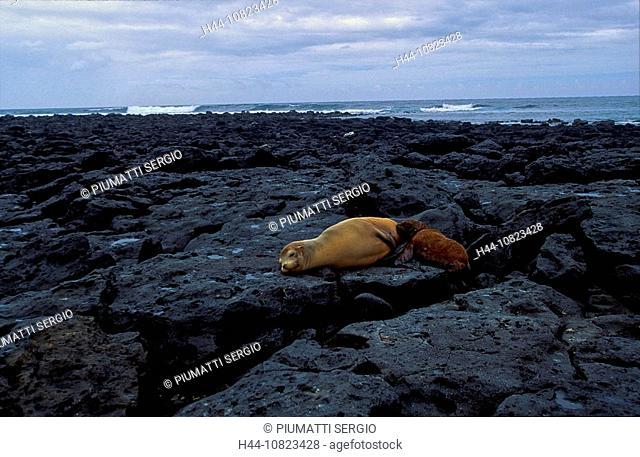 South America, Ecuador, Galapagos islands, isles, San Cristobal Chatham, Galapagis sea lion, Zalophus californianus wo