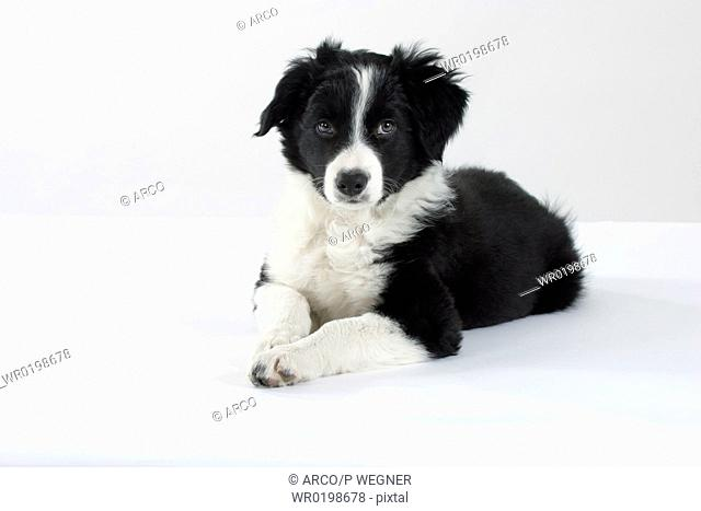 Border, Collie, puppy, 10, weeks
