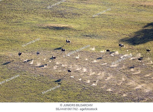 Ostrich (Struthio camelus), running, aerial view, Okavango Delta, Moremi Game Reserve, Botswana