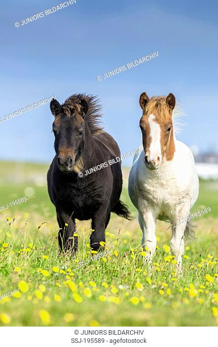 Shetland Pony Two foals standing on a flowering meadow Unst, Shetlands