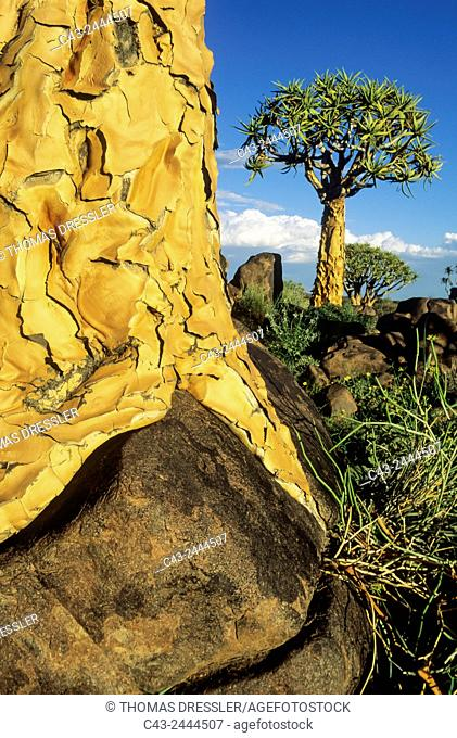 Quiver Tree (Aloe dichotoma) - Grew partially on a rock. Formerly the hollowed out branches of these trees were used as quivers by the bushmen