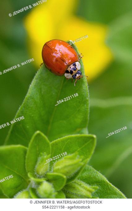 Multicolored Asian Lady Beetle. Harmonia axyridis
