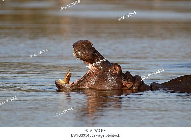 hippopotamus, hippo, Common hippopotamus (Hippopotamus amphibius), swimming with open mouth, South Africa, Kruger National Park
