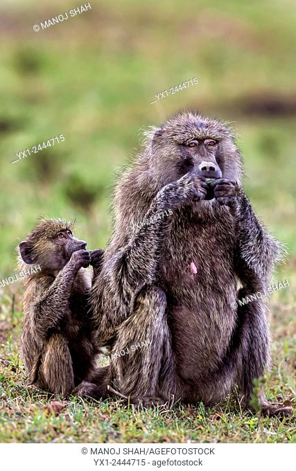Mother baboon and baby eating ripe tree fruits which had fallen down on the ground from the tree nearby. . Baby instinctively copies its mother on eating