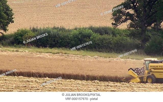 Yellow combine harvester cutting a rape field - extreme long shot with heat haze