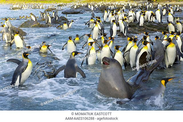 Southern elephant seal pup (Mirounga leonina) confused and a bit lost among King penguins (Aptenodytes patagonicus) who are walking, swimming