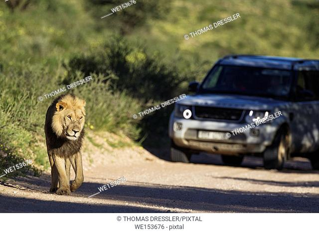 Lion (Panthera leo). Black-maned Kalahari male walking on a road. Behind it a tourist vehicle on a game drive. During the rainy season in green surroundings