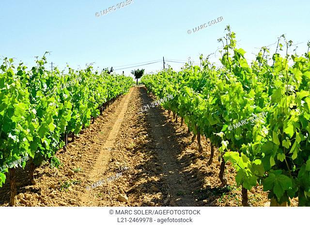 Vineyards. Alt Penedès, Barcelona province, Catalonia, Spain