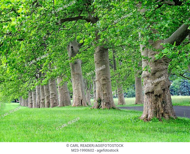 Stately old trees grow in a line along a road, Pennsylvania, USA