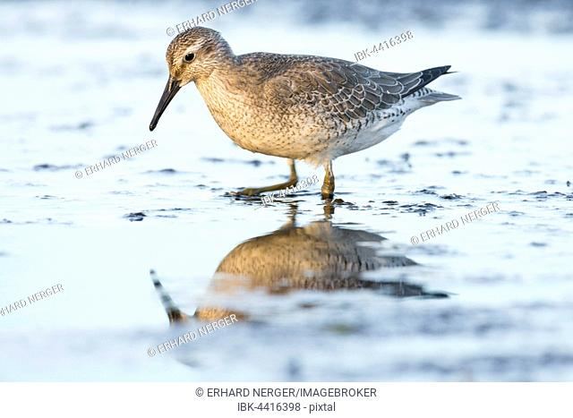 Red knot (Calidris canutus) standing in shallow water with reflection in Darss, Mecklenburg-Western Pomerania, Germany