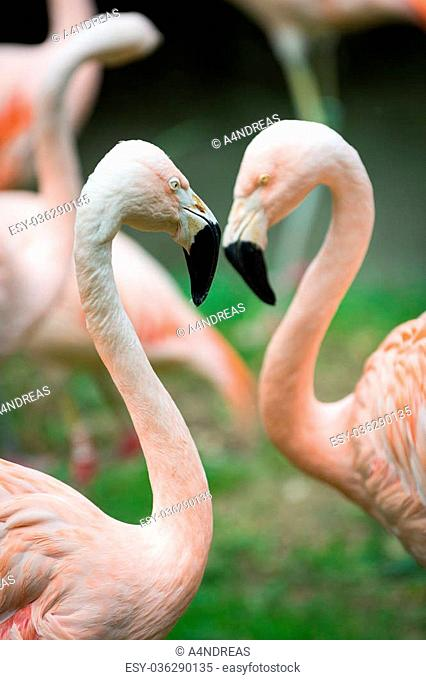 two heads and necks of greater flamingos building lovely heart figure