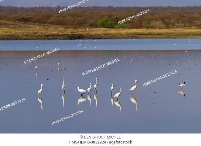 Kenya, Rift Valley, Magadi Lake, Little Egret (Egretta garzetta)