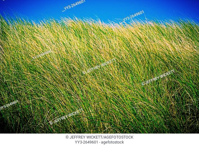 Minimalist view of beach grass, Ludington Dunes State Park, Michigan, USA