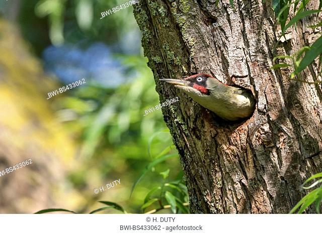 green woodpecker (Picus viridis), male looks out of its breeding cave in a willow, Germany, Mecklenburg-Western Pomerania