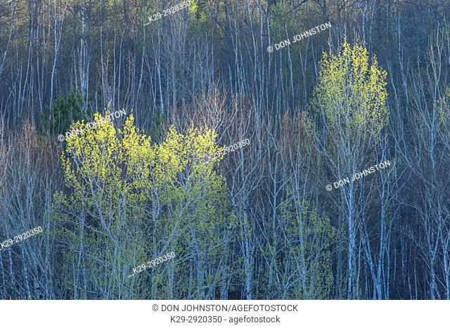 Emerging spring foliage in aspen trees with surrounding birch tree trunks, Greater Sudbury, Ontario, Canada