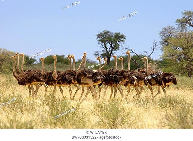 ostrich (Struthio camelus), group of several young males in the savannah, South Africa, Kgalagadi Transfrontier National Park