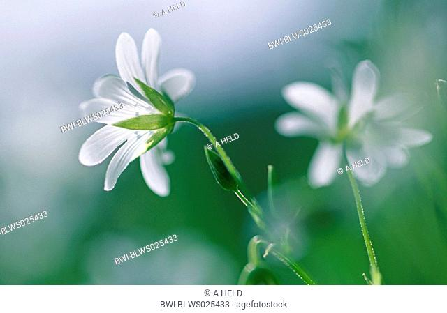 easterbell starwort, greater stitchwort Stellaria holostea, Germany