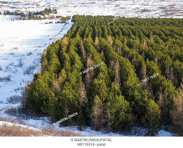 Forestry in Iceland, plantation of pines during winter. Northern Europe, Scandinavia, Iceland, February