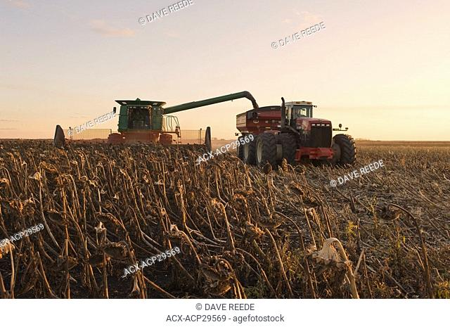 a combine harvester unloads into a grain wagon on the go during the sunflower harvest, near La Salle, Manitoba, Canada